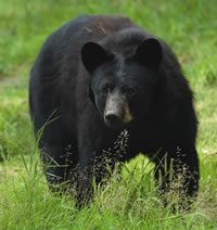 Black Bears and Public Safety